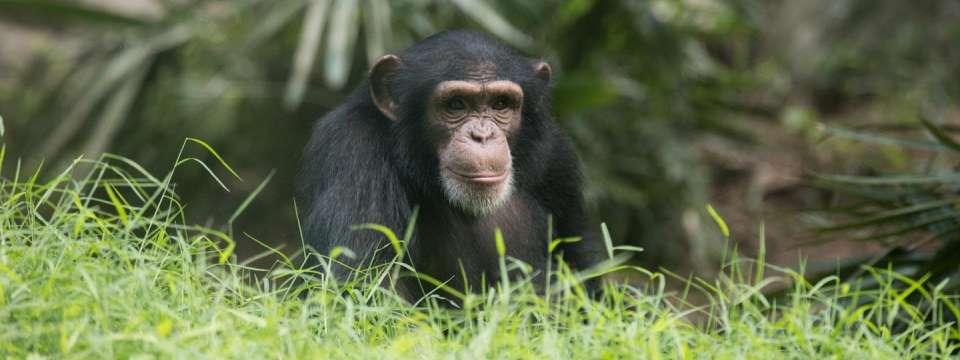 Chimpanzee | North Carolina Zoo