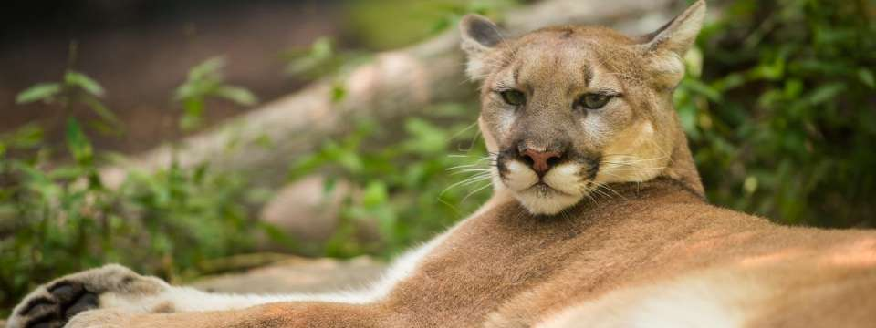 Cougar laying down