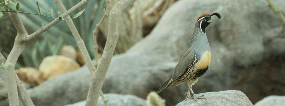 Gambel's quail sitting on rock