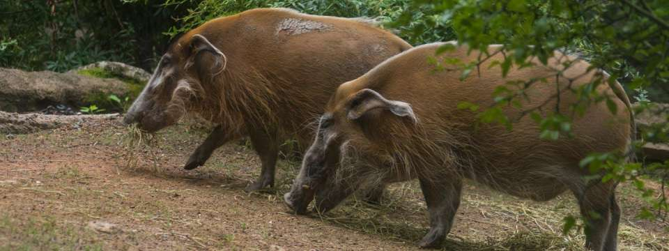 Two Red River hogs