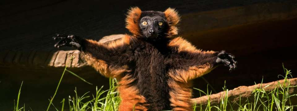 Red ruffed lemur with open arms