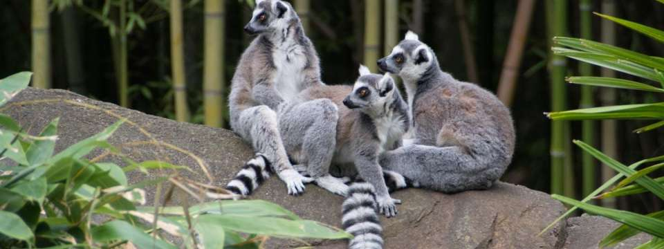 Three ring-tailed lemur