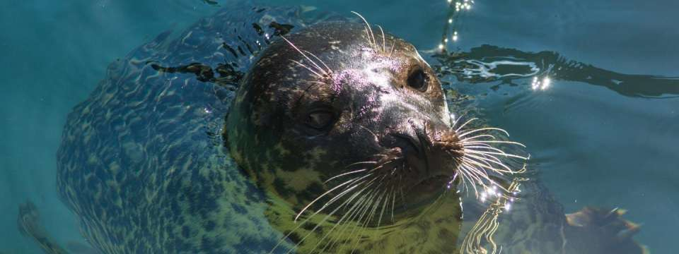 Harbor seal sticking head out of water