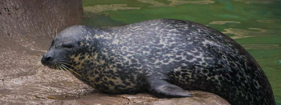 Harbor seal coming out of water