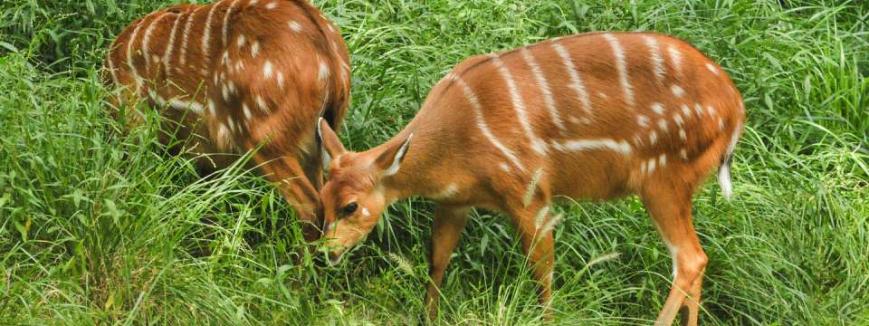 Two sitatunga