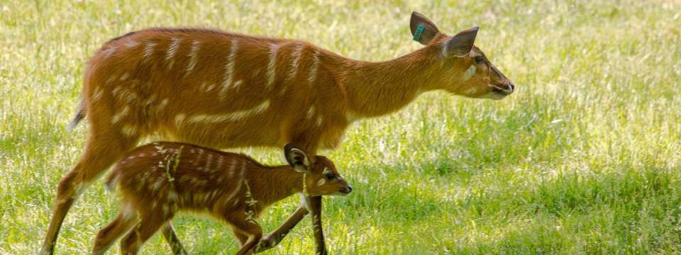 Adult sitatunga with baby sitatunga
