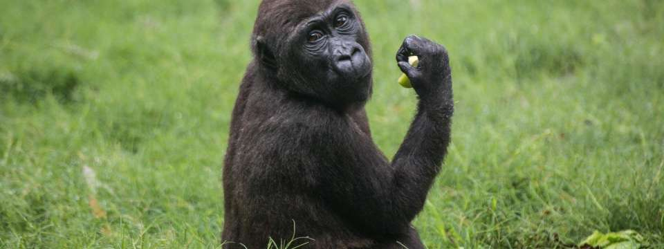 Young gorilla eating apple