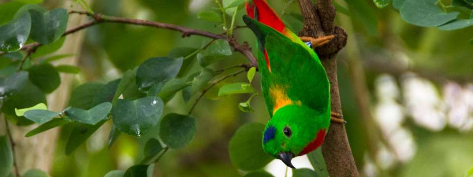 Blue-crowned hanging parrot in tree