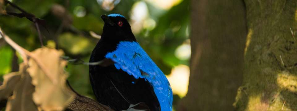 Asian fairy bluebird in tree
