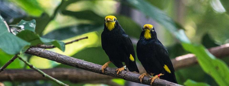 Two golden-crested mynah