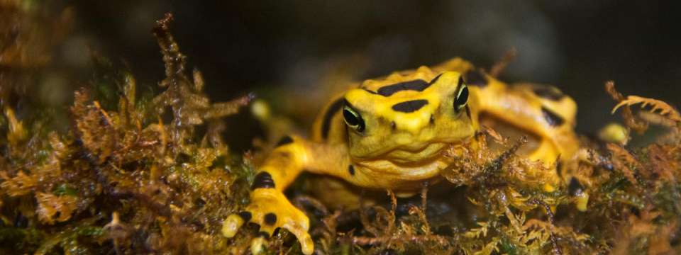 Panamanian golden frog on moss