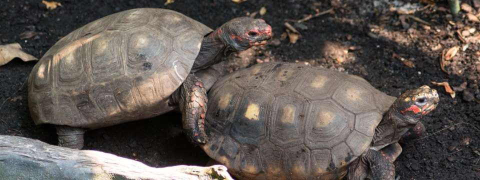 Pair of red-footed tortoise