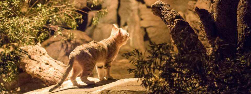 Sand cat in the nocturnal desert