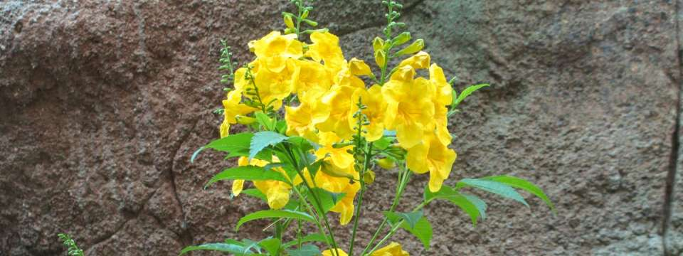 Tecoma stans - Arizona Yellowbells