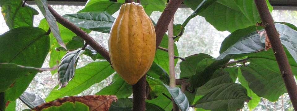 Theobroma cacao - Chocolate Tree