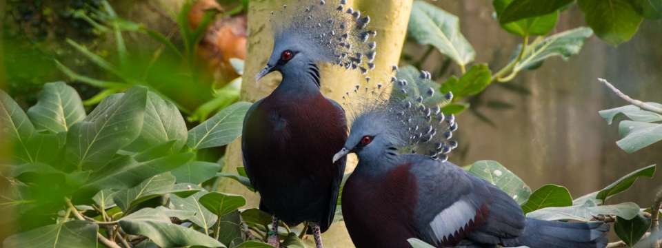 Pair of Victoria crowned pigeon