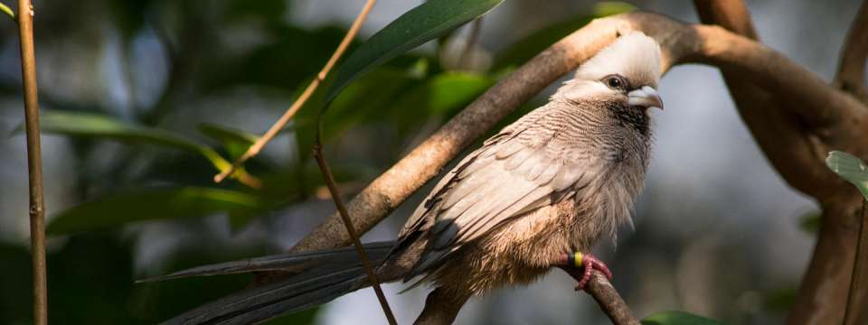 White-headed mousebird on tree branch