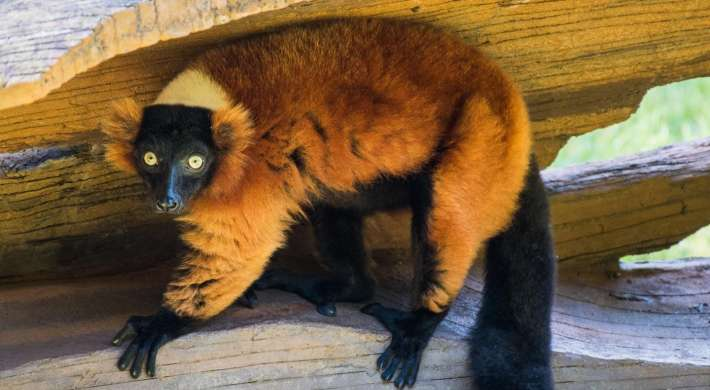 Red ruffed lemur on log