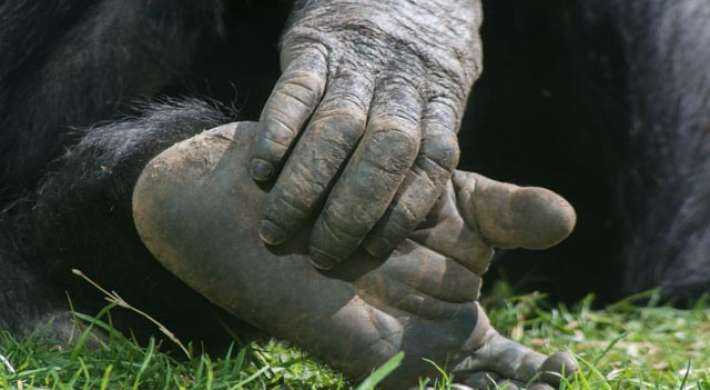 Ape hands and feet