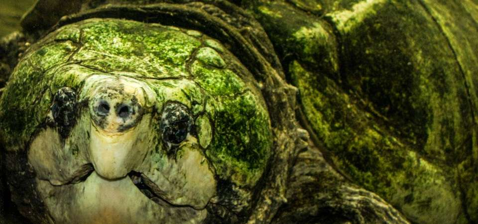Alligator snapping turtle close up