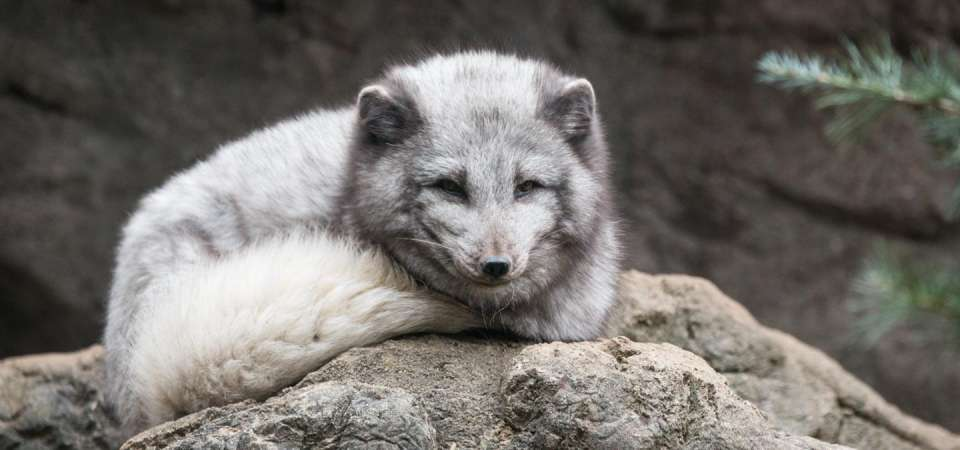 Arctic fox laying down