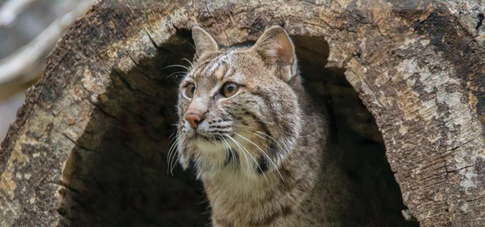 Bobcat in a hollow log