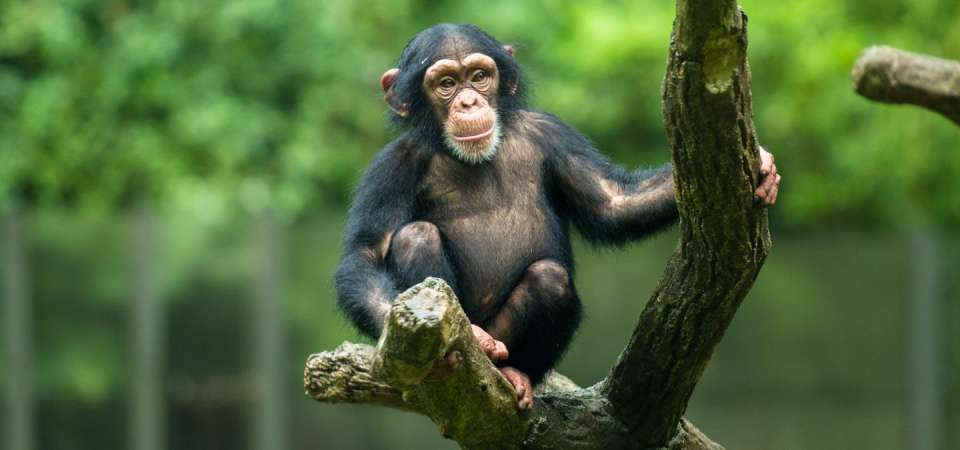 Young chimpanzee in tree