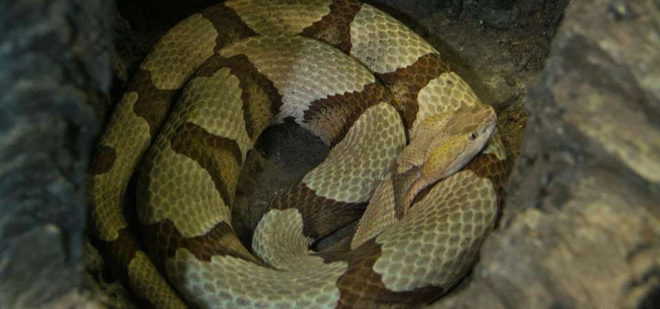 Copperhead snake coiled