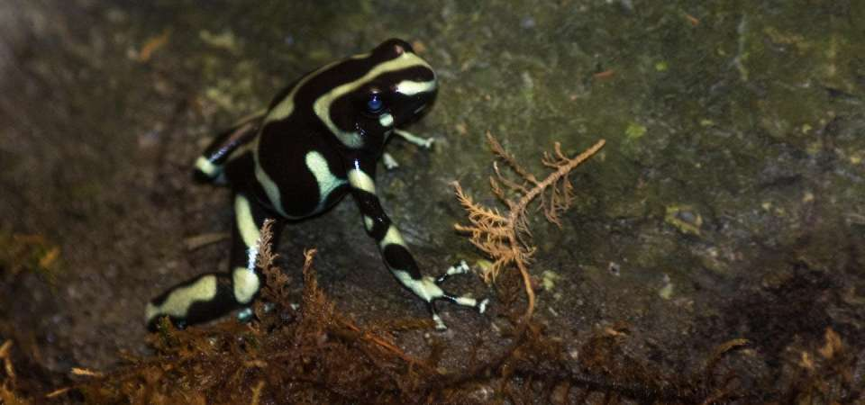 Green and black poison frog