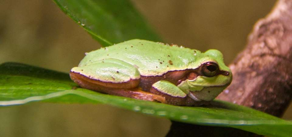 Pine barrens treefrog on leaf
