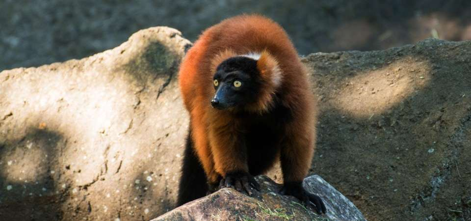Red ruffed lemur on rock