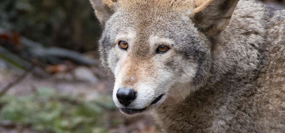 Red wolf face close-up