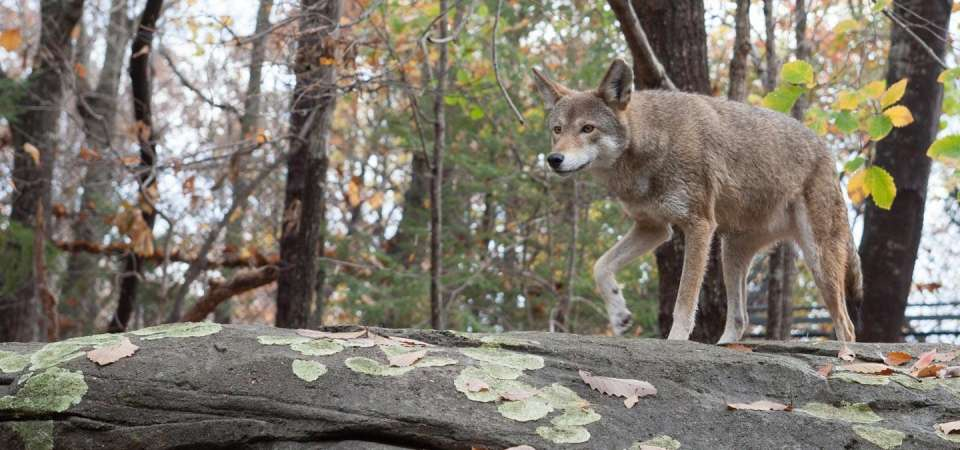 Red wolf walking on rock