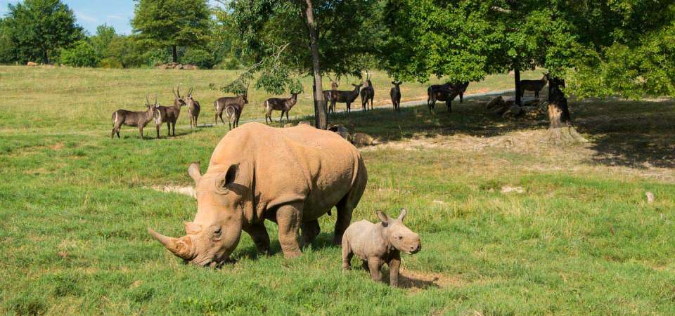 Baby southern white rhino with mother and waterbuck