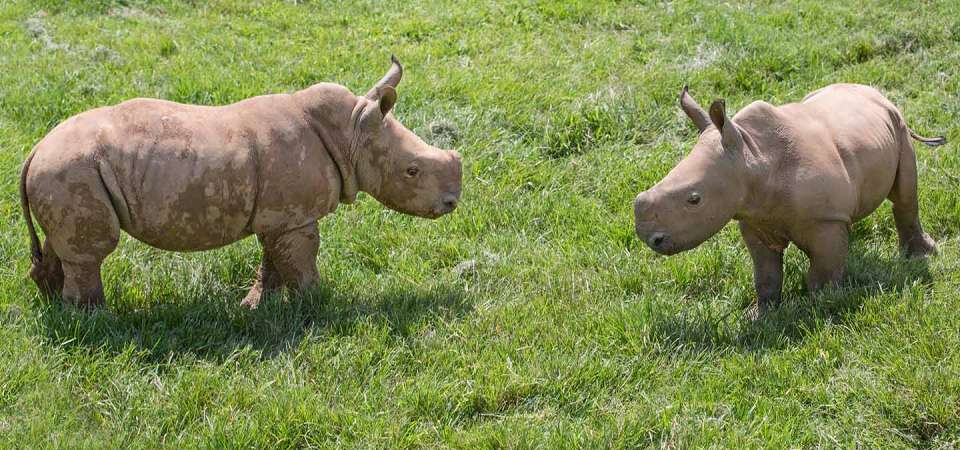 Baby Rhinoceros together at around 6 weeks old on Watani Grassland