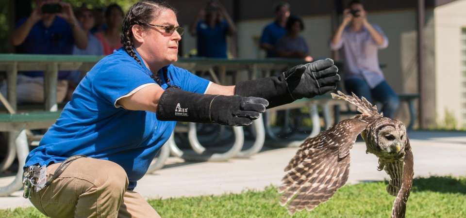 Rehabilitated barred owl release