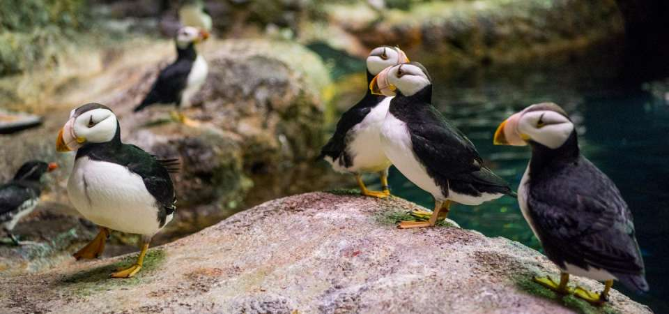 Horned puffin on rock