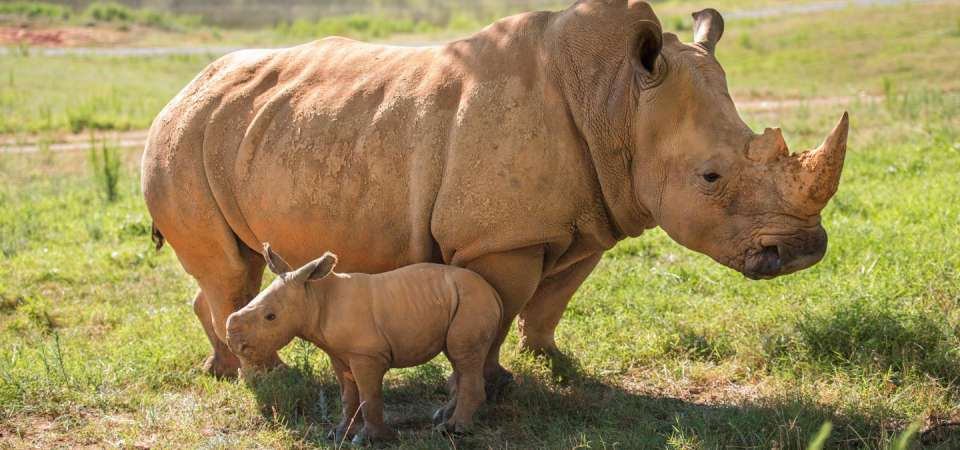 Mom and baby southern white rhino