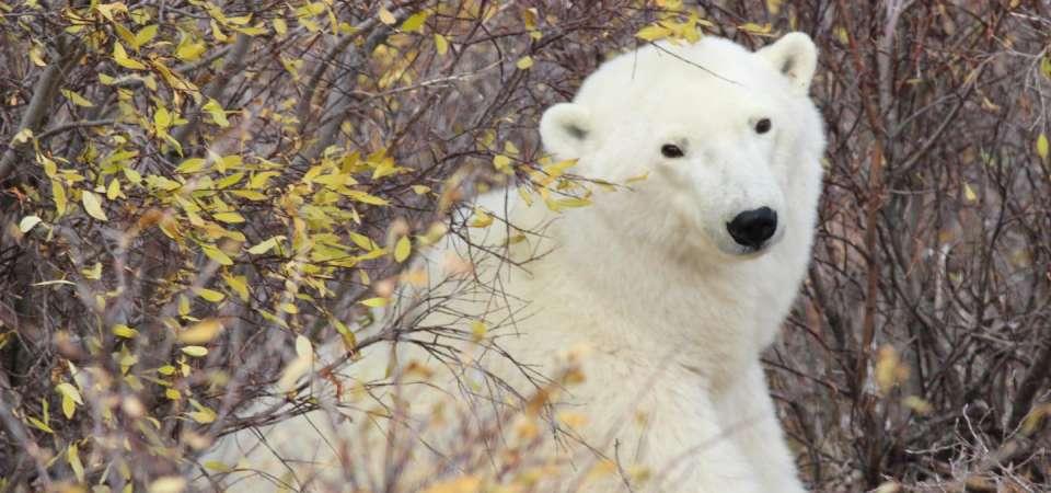 Help Us Name Our Wild Polar Bear | North Carolina Zoo