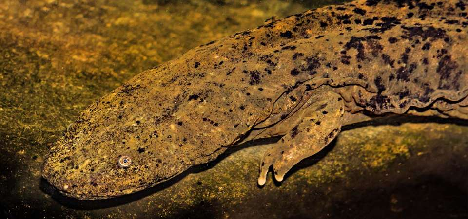 North Carolina Zoo: Saving Species North America: Hellbender