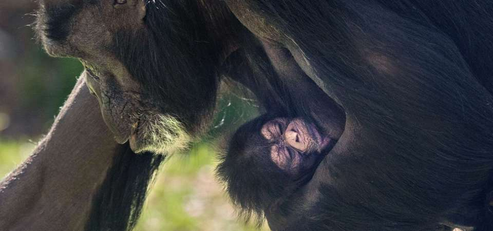 Chimpanzee mother Gerre carrying newborn baby at North Carolina Zoo.