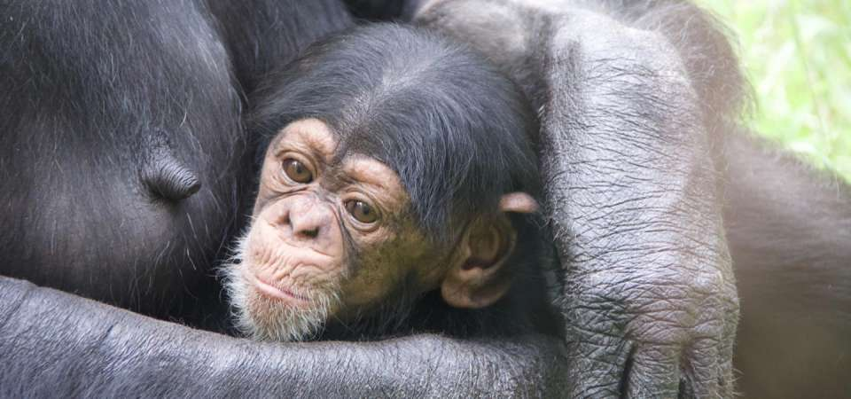 Male chimp Obi in Gerre's arms