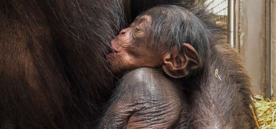 Amy's Baby Chimp