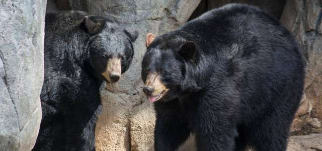 Black bear pair