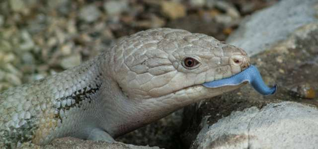 blue-tongued skink profile face with tongue out