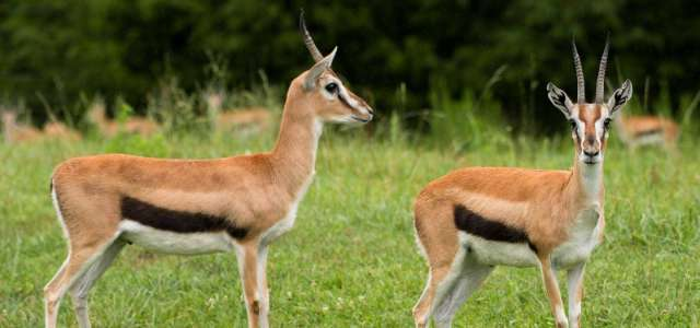 Thomson's gazelle pair