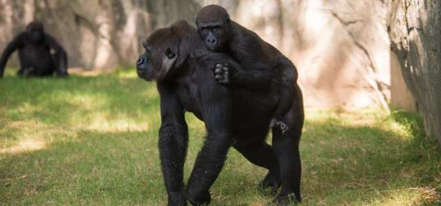 Young gorilla on the back of older gorilla female