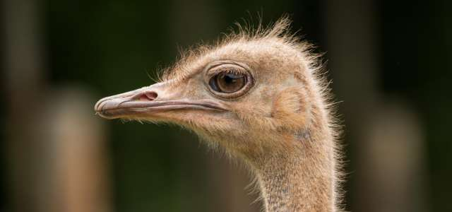 Ostrich face profile