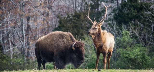 Bison and Elk at North Carolina Zoo