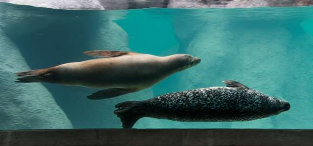 Seal and sea lion swimming under water